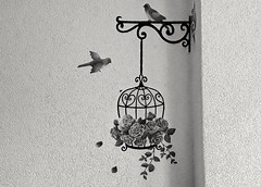 freedom cant be tamed (**Kosovo is a beautiful country **) Tags: artistic art artistike cage peagon wallpaper hd 2017 bresane kosovo black white roses rose freedom free walled
