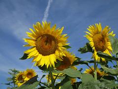 Girasoli (Eli.b.) Tags: girasole girasol sonnenblume sunflowers tournesol estate summer eté campo cielo fiori guallo azzurro