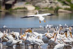 Look Out Below (jeff_a_goldberg) Tags: americanwhitepelican wildlife nature bird birdinflight bif wisconsin pelecanuserythrorhynchos manitowocharbor lakemichigan manitowoc unitedstates us