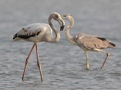 Greater Flamingo and Grey Heron (SivamDesign) Tags: canon eos 550d rebel t2i kiss x4 300mm tele canonef300mmf4lisusm bird fauna flamingo greater greaterflamingo phoenicopterusroseus grey heron greyheron ardeacinerea