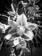 Tiger Lily HDR (randyherring) Tags: ca morning flora monochrome tigerlily nature flower neighborhood elkgrove beauty bloom california outdoor suburban unitedstates us