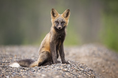 Curious Fox Kit Portrait (Jeff Dyck) Tags: red cross fox redfox crossfox vulpesvulpes portrait princegeorge giscome bc britishcolumbia jeffdyck