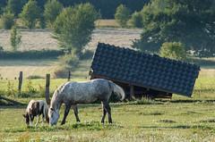 21062017-DSC_0018 (vidjanma) Tags: cheval poulain abri penché insolite