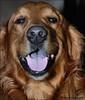 A Happy Golden Retriever (John Neziol) Tags: jrneziolphotography goldenretriever fieldretriever pointynoseddogs smileofadog interestingdogposes pet portrait dog dognose dogtongue animal nikon nikondslr nikoncamera nikond80 brantford