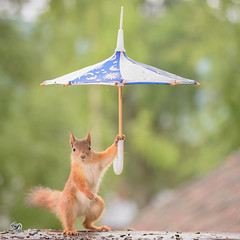 young red squirrel holding a umbrella (Geert Weggen) Tags: red nature animal squirrel rodent mammal cute look closeup funny bright sun backlight eyes staring hold hide glimpse peek top up balance leaves shine spring background happy positive wet swim bath clean shower water umbrella young puppy rain geert sweden weggen bispgården jämtland ragunda geertweggen