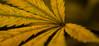 Leaf (luccasolguin) Tags: weed marihuana superogkush pyramidseeds ogkush og kush dinafem whitewidow white widow plants nugs cogollos hojas uruguay chile autocultivo cultivo indoor grower borntobeagrower ak47 chocolope leaf trichomes tricomas macro