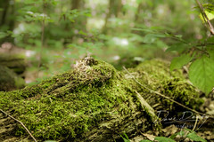 Mossy Log (Dave Denby) Tags: moss log tree forest wood nature lichen leaf bokeh