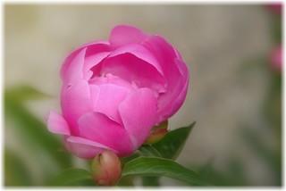 Stratford Ontario ~ Canada ~ Peony Flower ~ Shakespearean  Garden Botanical  ~ Heritage