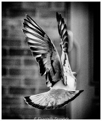 Day 177. (lizzieisdizzy) Tags: blackandwhite blackwhite black beautiful brick whiteandblack white whiteblack monochrome mono monotone monochromatic movement bird fly flying feathers wing wings tailfeathers flapping