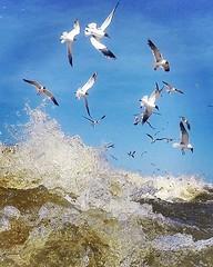 Gulls and Water (ericanderson7) Tags: seabirds gull gulls sea waves