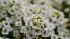 alyssum (conall..) Tags: alyssum macro flower macromondays relax relaxing scentedflowers