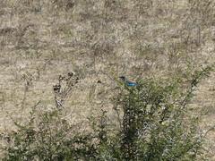 P1150130 Zimbabwe (60) (archaeologist_d) Tags: zimbabwe stanleylivingstonesafarilodge lilacbreastedroller africa southernafrica safari
