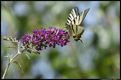 _DSK4154-07-07-2017 - podalirio (r.zap) Tags: iphiclidespodalirius podalirio rzap parcodelticino farfalla
