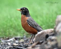 American Robin (BEElwood) Tags: american robin d7200 nikon 200500mm backyard bird