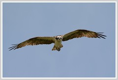 ^^^ Osprey Summer Overflight - II. ^^^ (Wolverine09J ~ 1.5 Million Views) Tags: ospreyandwhitecampioncrdam osprey fisheagle avianwildlife raptor birdofprey summer soaringflight level1allnaturesparadise nature batslair 1goldwildlife