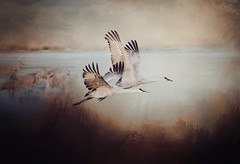 sandhill_cranes_bosque (Sharon_Norman) Tags: bosquedelapache avian sandhillcranes snowgeese