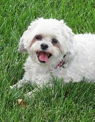 A Big Smile (merripat) Tags: lily dog abigsmile smile tongue mydog