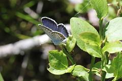 Ljungblåvinge 'Plebejus argus' (På upptäcktsfärd i naturen) Tags: blåberga juli fjäril ljungblåvinge plebejusargus äktadagfjärilar papilionoidea juvelvingar lycaenidae polyommatinae polyommatini blåvingar plebejus