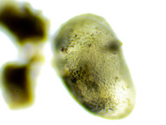 Small Creature (avtencza) Tags: microscopy pondlife science microbiology