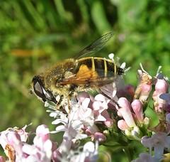 Neither Bird Nor Bee (Bricheno) Tags: lochwinnoch bricheno rspb insect fly macro bug hoverfly scotland escocia schottland écosse scozia escòcia szkocja scoția 蘇格蘭 स्कॉटलैंड σκωτία
