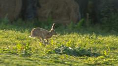 Hare in full flight-1 (gordyc57) Tags: hare running wild