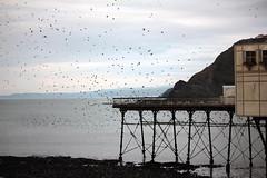 Murmaration of starlings at Aberystwyth pier (Stephanie Rutt) Tags: aberystwyth ceredigion wales coast sea pier aberystwythpier starlings murmuration seaside