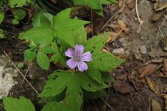 Geranium nodosum (gabrielterraz) Tags: škocjan slovénie geraniaceae geranium