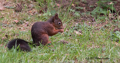 Eekhoorn / Scirurus vulgaris (m.ritmeester) Tags: ngc naturelovers natuur nederland bruin zwart groen gelderland eekhoorn veluwe hoenderloo holland