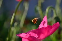 Morning commute (James_D_Images) Tags: bee pink flower closeup morning sunlight garden flight pollen shadow stems