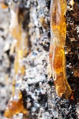 flow (Leonard J Matthews) Tags: sap flow flowing down bark tree nature creation environment australia mythoto