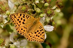 High Brown Fritillary (Martin F Hughes) Tags: butterfly devon dartmoor martin hughes canon 7d wildlife high brown fritillary