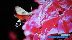 ITV Meridian - Hummingbird Hawk Moth - 14.07.17 (Colin D Lee) Tags: itv meridian tonight tv television broadcast simon parkin