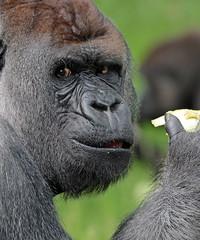 Bokito Blijdorp JN6A9049 (joankok) Tags: gorilla bokito blijdorp westelijkelaaglandgorilla westernlowlandgorilla laaglandgorilla lowlandgorilla aap ape monkey mensaap africa afrika zoogdier dier animal zilverrug silverback