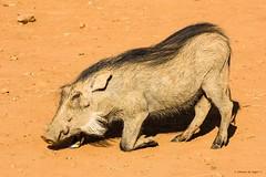 Kneeling Warthog (Johann (Sasolburg, RSA.)) Tags: warthog vlakvark