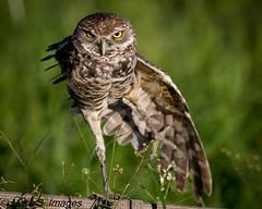 Owl Yoga (Mark S. Images) Tags: owl burrowingowl