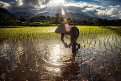 Rice sun and water (Asian Hideaways Photography) Tags: asia asian rizière exterior ethnic people rice ricefield reflection travel travelphotography vietnam paddy southeastasia farmer green water woman work candid conicalhat vietnamese naturallight nature natural