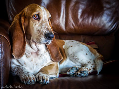 Boo Basset (mejud) Tags: dog portrait basset hound tricolor ears nose tan beautiful hounds bassett eyes dogs animal pet