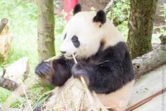 IMG_0456.jpg (wfvanvalkenburg) Tags: ouwehandsdierenpark panda familie