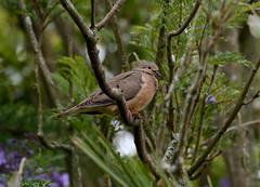 Eared Dove --- Zenaida auriculata (creaturesnapper) Tags: ecuador southamerica puembo birds doves eareddove zenaidaauriculata