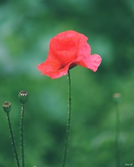 Single red poppy (Nina_Ali) Tags: red poppy flower meadow leicester depthoffield nikond5500