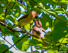 CEDAR WAXWINGS (imeshome) Tags: bird six juveniles parents ceder waxwing nature berries red wildwood lake wildlife
