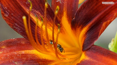 Will you still need me...? | Wirst du mich noch brauchen...? (jensfechter) Tags: elements bee flower biene blume need hunger food bedarf futter pollen bestäuben