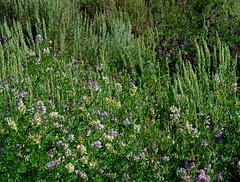 1 Ineffable Moment (Reflection below) (Robert Cowlishaw (Mertonian)) Tags: summermixture grateful wilderness awe ineffable blossoms flowers robertcowlishaw canonpowershotg7xmarkii peaceful silence markii mark g7x powershot canon passionpurple purple variety layers