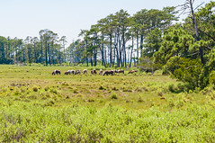 07082017-517-1 (bjf41) Tags: chincoteague horses wild herd colts