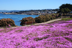 5/20/17 14:43 (joncosner) Tags: 2017 california flora monterey norcal pacificgrove stars3