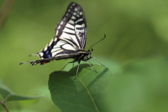 Swallowtail Butterfly (Johnnie Shene Photography(Thanks, 2Million+ Views)) Tags: swallowtailbutterfly swallowtail butterfly oldworldswallowtail papiliomachaon papilio nature natural wild wildlife livingorganism tranquility highangle depthoffield feeding feeler leaf perching resting awe wonder fulllength insect bug vivid interesting sideview diagonal tilt korea asia wings limbs bokeh photography horizontal outdoor colourimage fragility freshness nopeople foregroundfocus adjustment animal animalandplant green macro closeup magnified sharpness shadow spring day daylight canon eos80d 80d tamron 90mm f28 11 lens 호랑나비 나비 곤충 접사 매크로