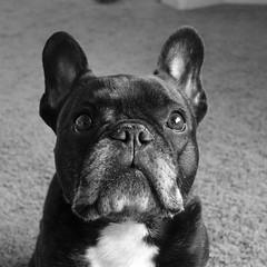 Mug Shot (Lainey1) Tags: raw oz ozzy dog frenchie bulldog lainey1 elainedudzinski frogdog zendog frenchbulldog ozzythefrenchie bw monochrome leica leicadlux4