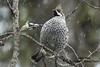 Hazel Grouse by Adam Riley (rockjumperbirding) Tags: birds birding birdwatching birdingtours nature wildlife photography birdphotography naturephotography wildlifephotography europe bohemianwaxwing hazelgrouse siberianjay arcticloon