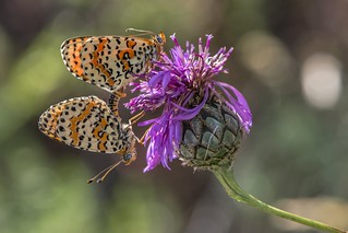*Spotted Fritillary mating*