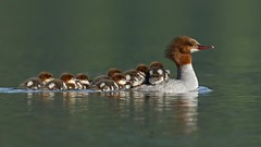 A Mother's Load (Melanie Leeson) Tags: merganserfemale merganser chicks merganseronwater melanieleesonwildlifephotography blingsister canon canon7dmarkii canonef100400mmf4556lisiiusm14xiii midvancouverisland